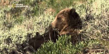 Osos contra Lobos